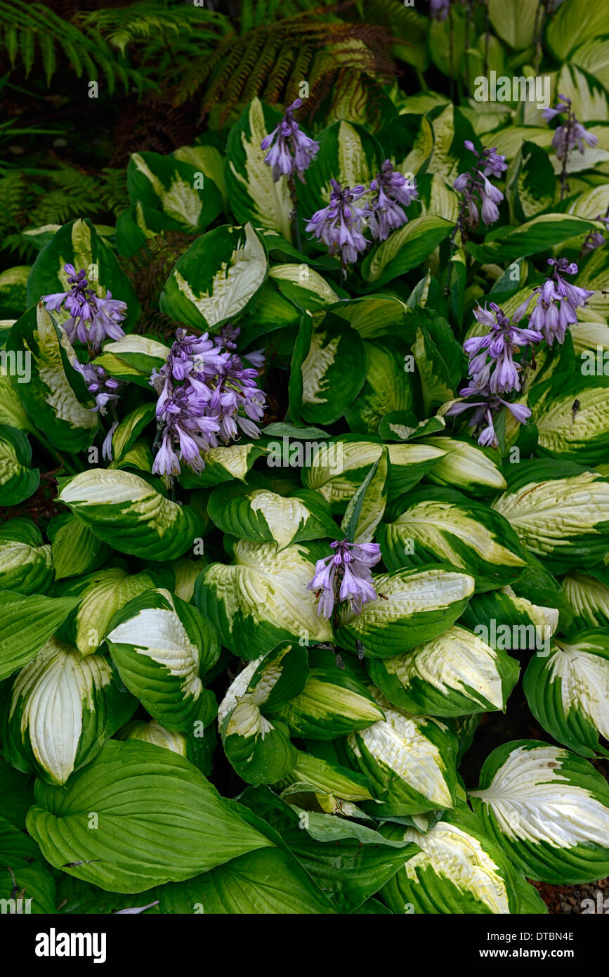 Green And White Hosta Stock Photos Green And White Hosta Stock
