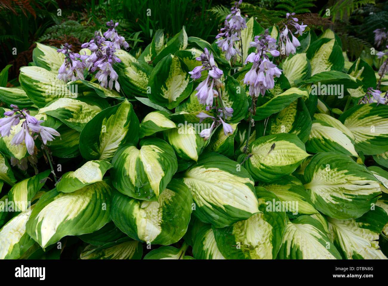 Hosta Green White Variegated Leaves Stock Photos Hosta Green White