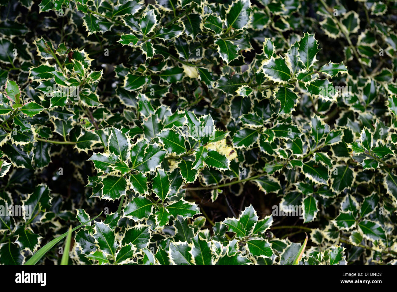 ilex aquifolium argentea marginata Variegated English Holly glossy yellow leaves foliage Stock Photo
