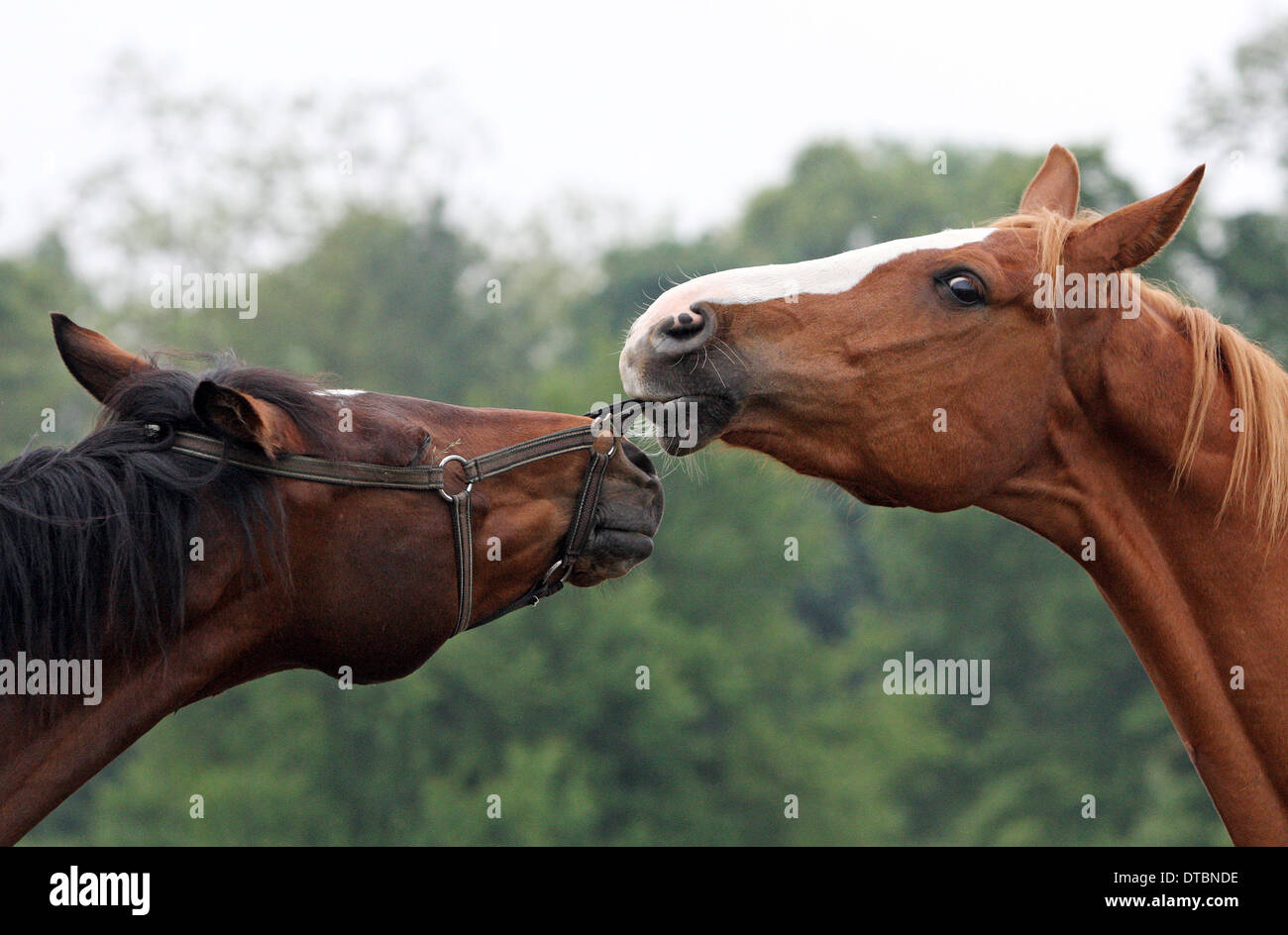 Horse pulls on the halter of a conspecific - Stock Image