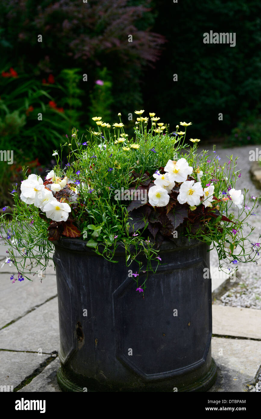 Lead Container Summer Display Displays Begonia White Yellow