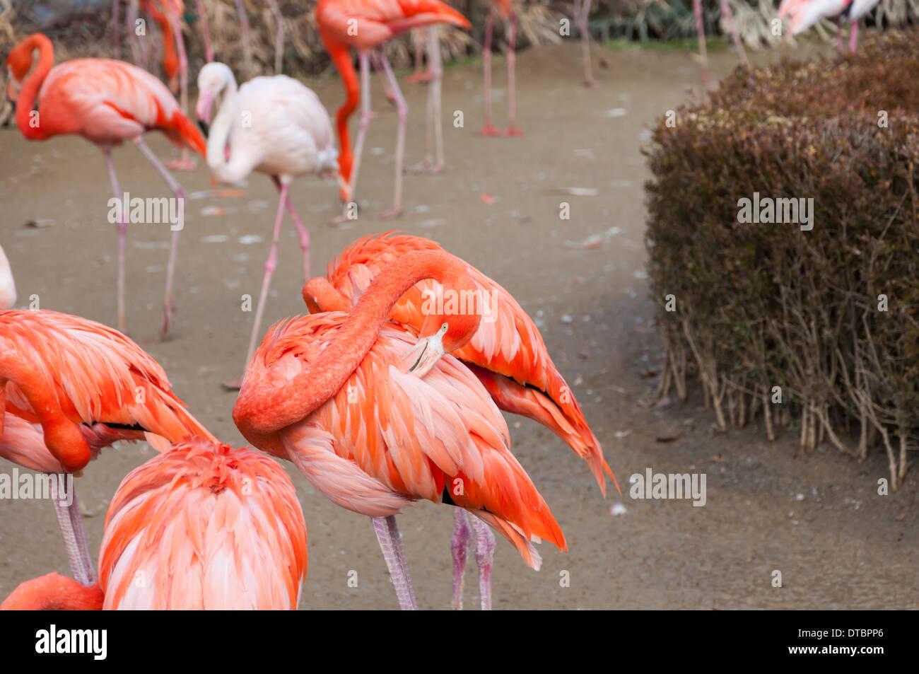 Flamingos at the Seoul Zoo. - Stock Image