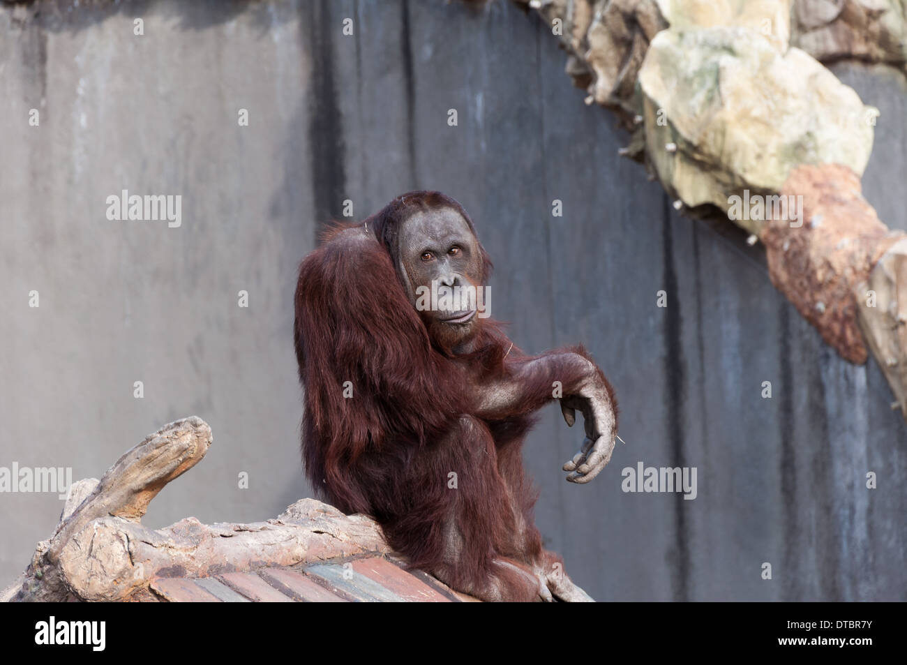 Orangutan at the Seoul Zoo. - Stock Image