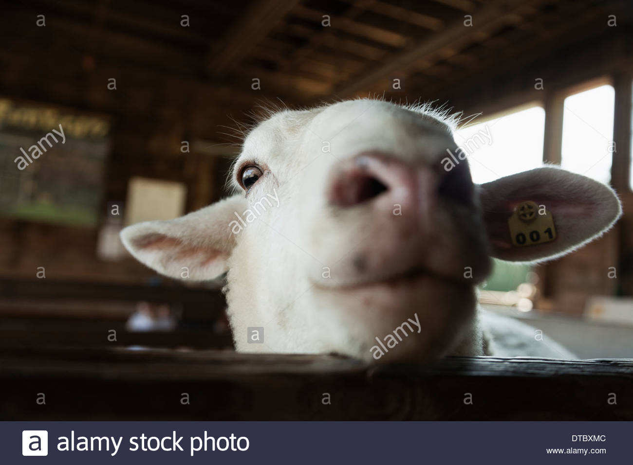 Goat in pen being inquisitive - Stock Image