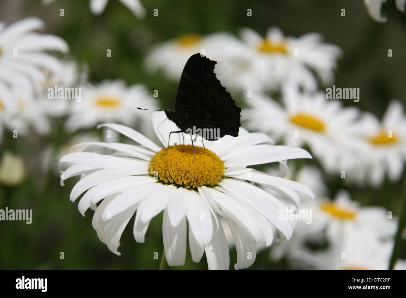 White daisy flowers butterfly stock photos white daisy flowers profile of a peacock butterfly on a white daisy flower stock image izmirmasajfo