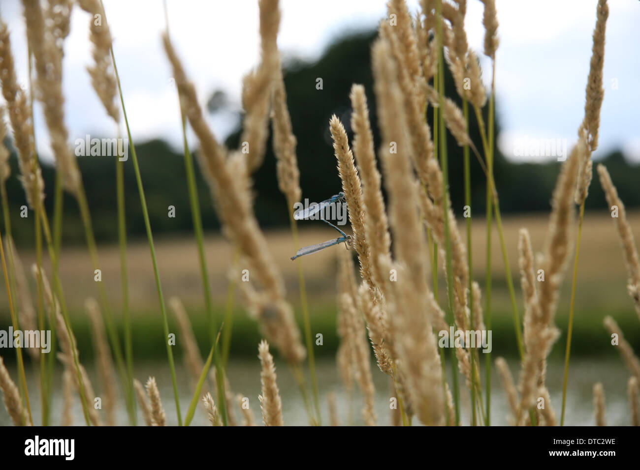 Dragonflies on grasses - Stock Image