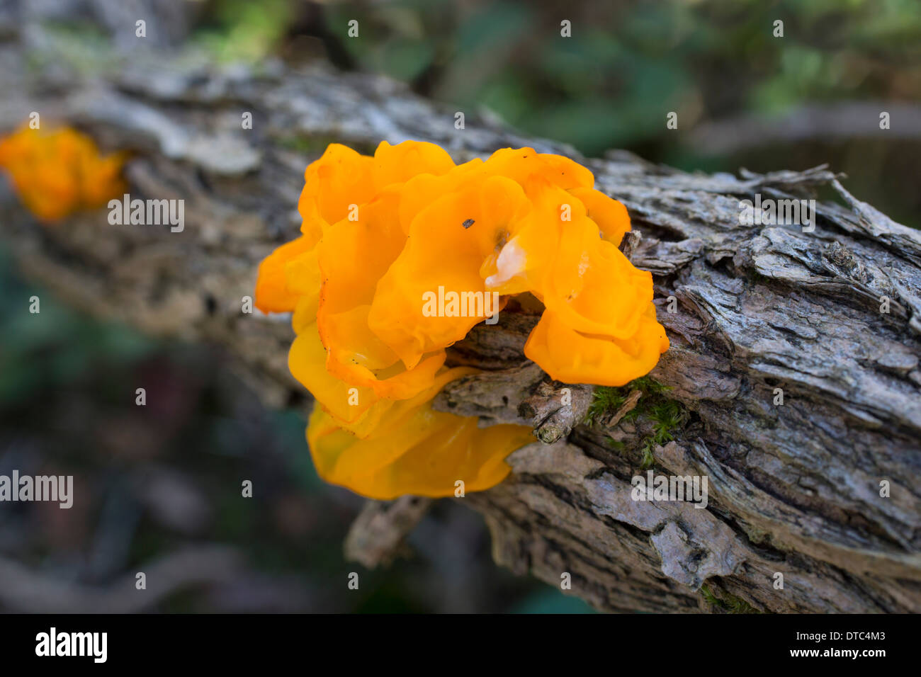 Yellow Brain Fungus; Tremella mesenterica; Autumn; UK Stock Photo