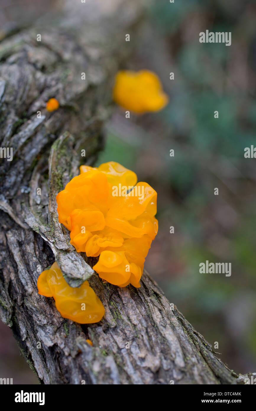 Yellow Brain Fungus; Tremella mesenterica; Autumn; UK - Stock Image