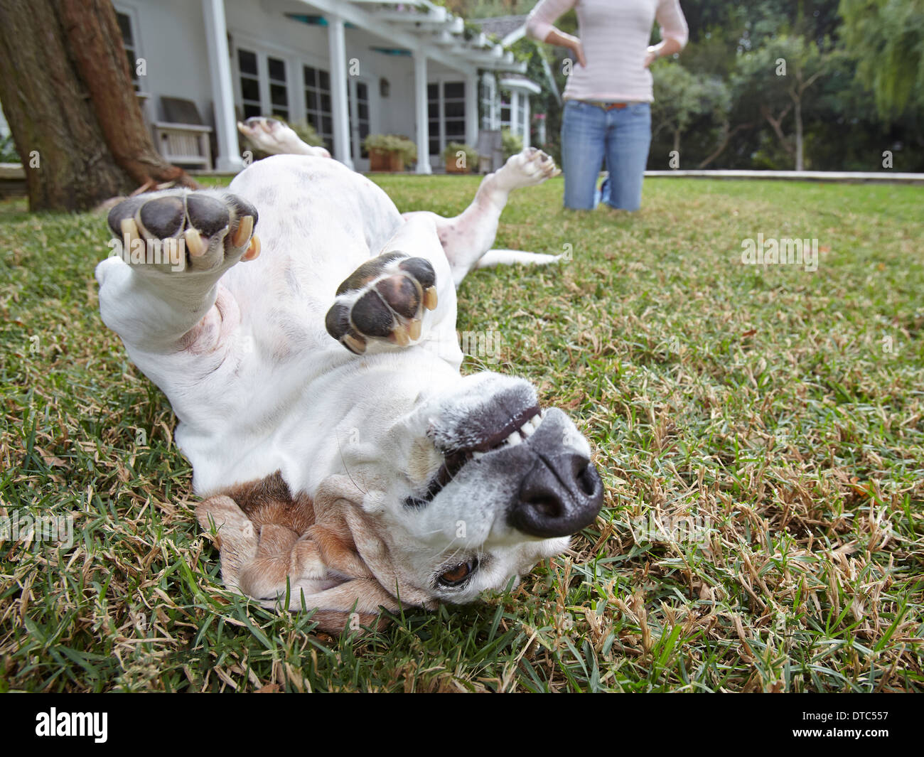 Dog rolling over on grass, woman in background - Stock Image
