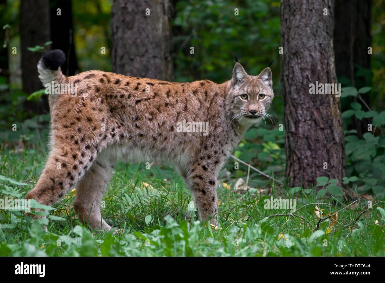 Eurasian lynx (Lynx lynx) in forest - Stock Image