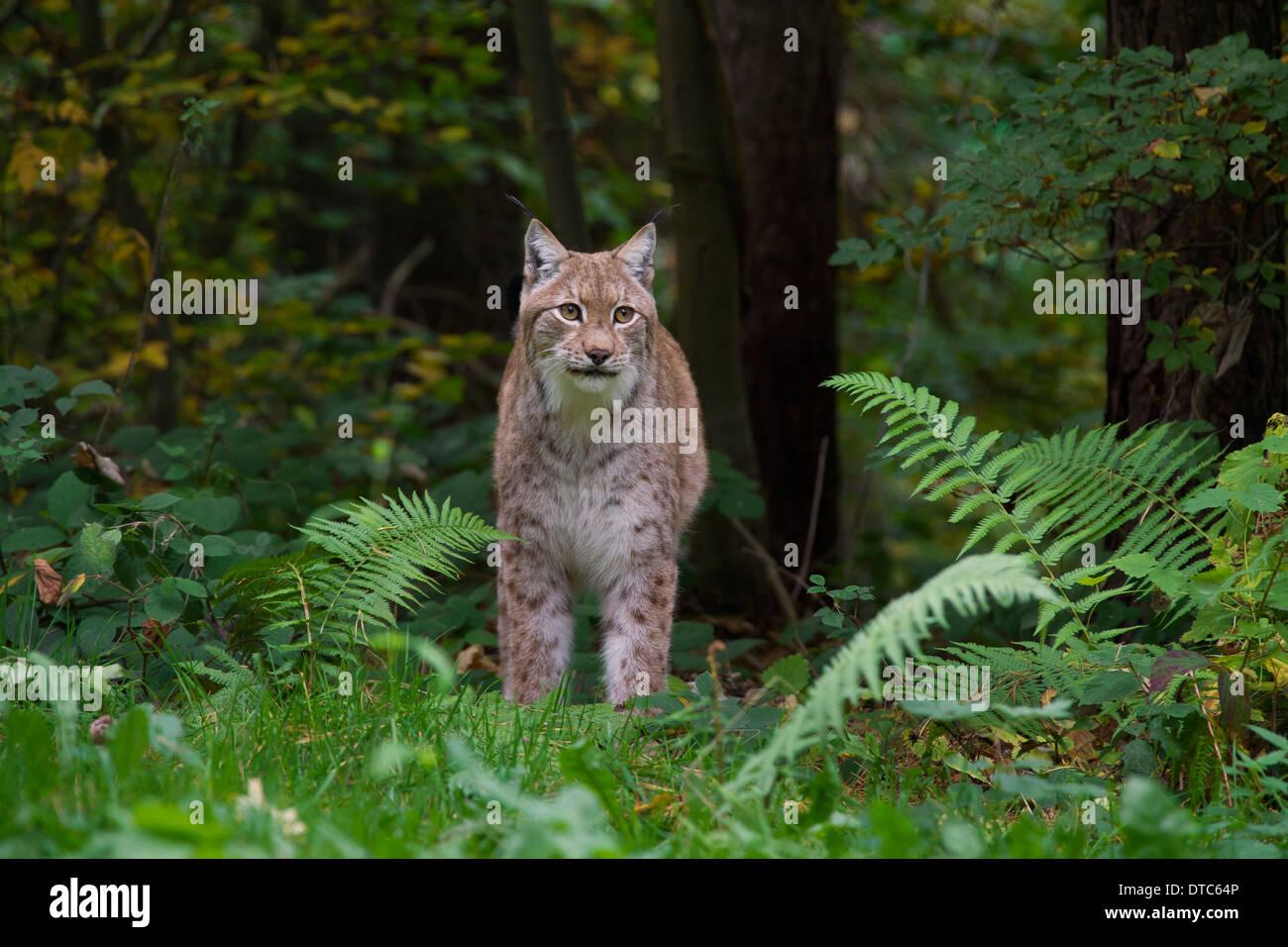 Eurasian lynx (Lynx lynx) in forest Stock Photo