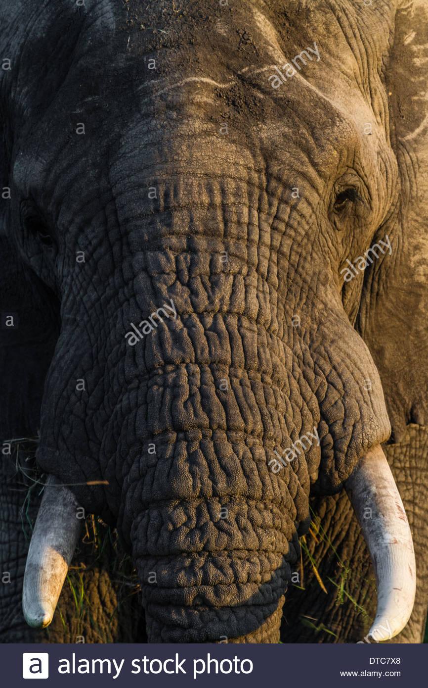 African elephant (Loxodonta africana) Close Up, Tanzania Stock Photo