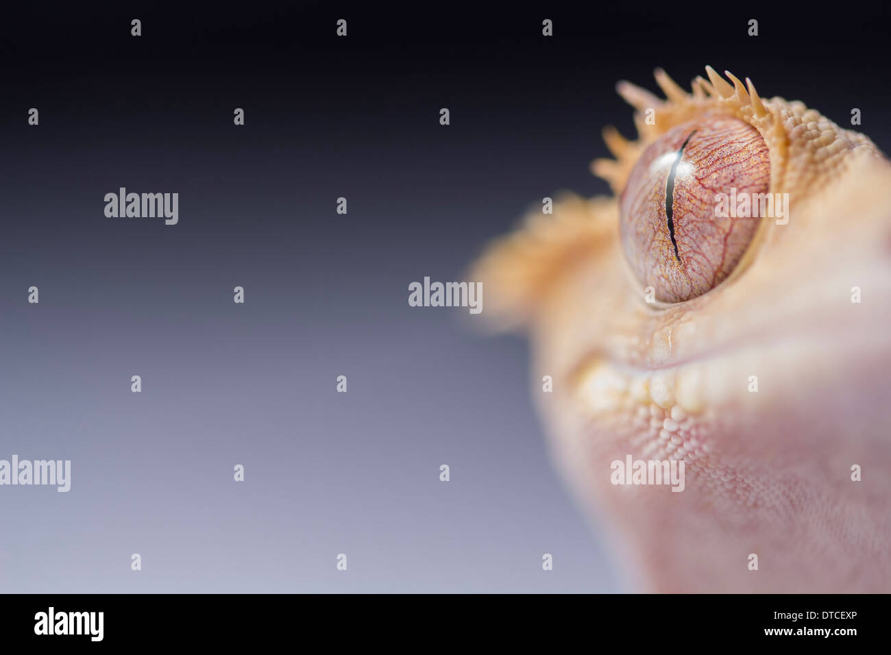 Crested Gecko on a plain two tone background with a short DOF aimed at a section of the eye - Stock Image