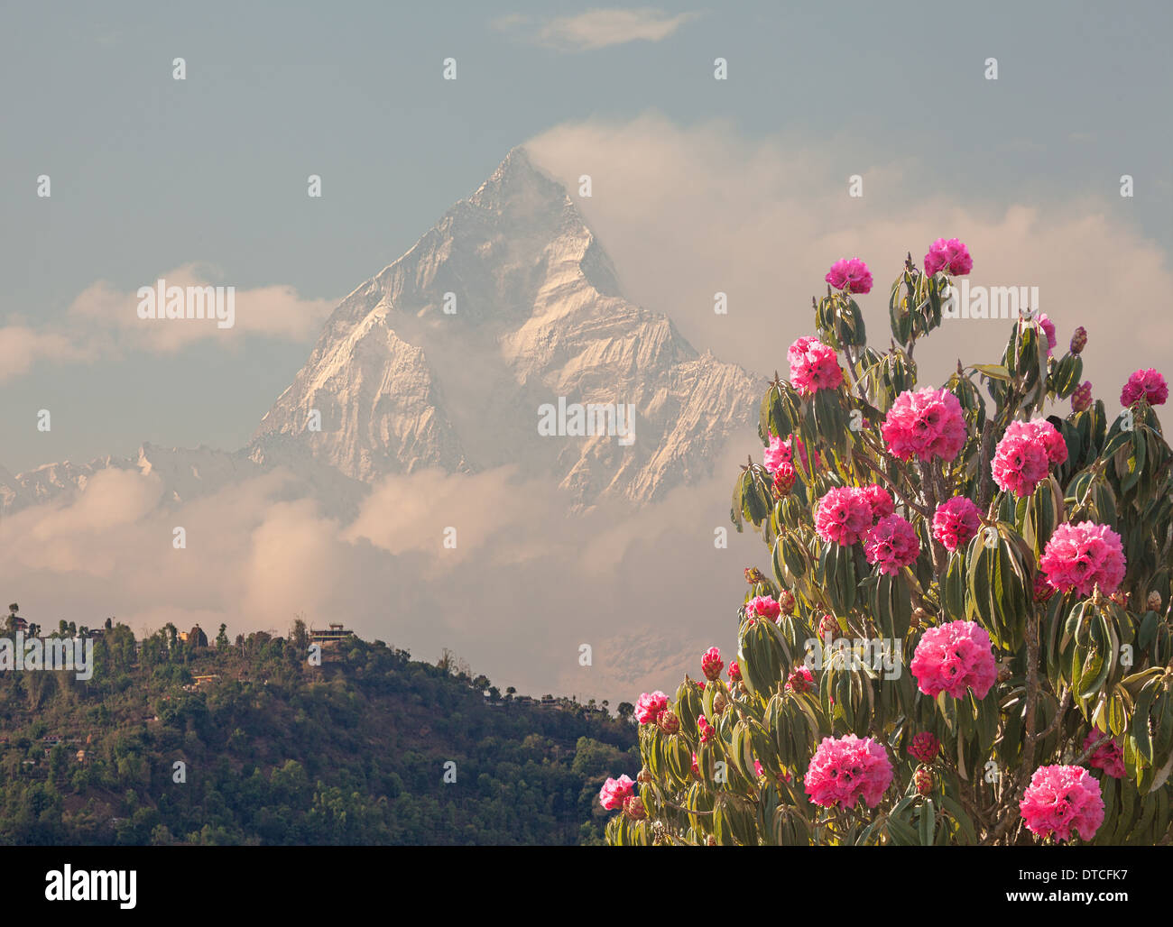Blossoming spring rhododendrons on background Machapuchare peak (6993 m). Nepal Himalayas. - Stock Image