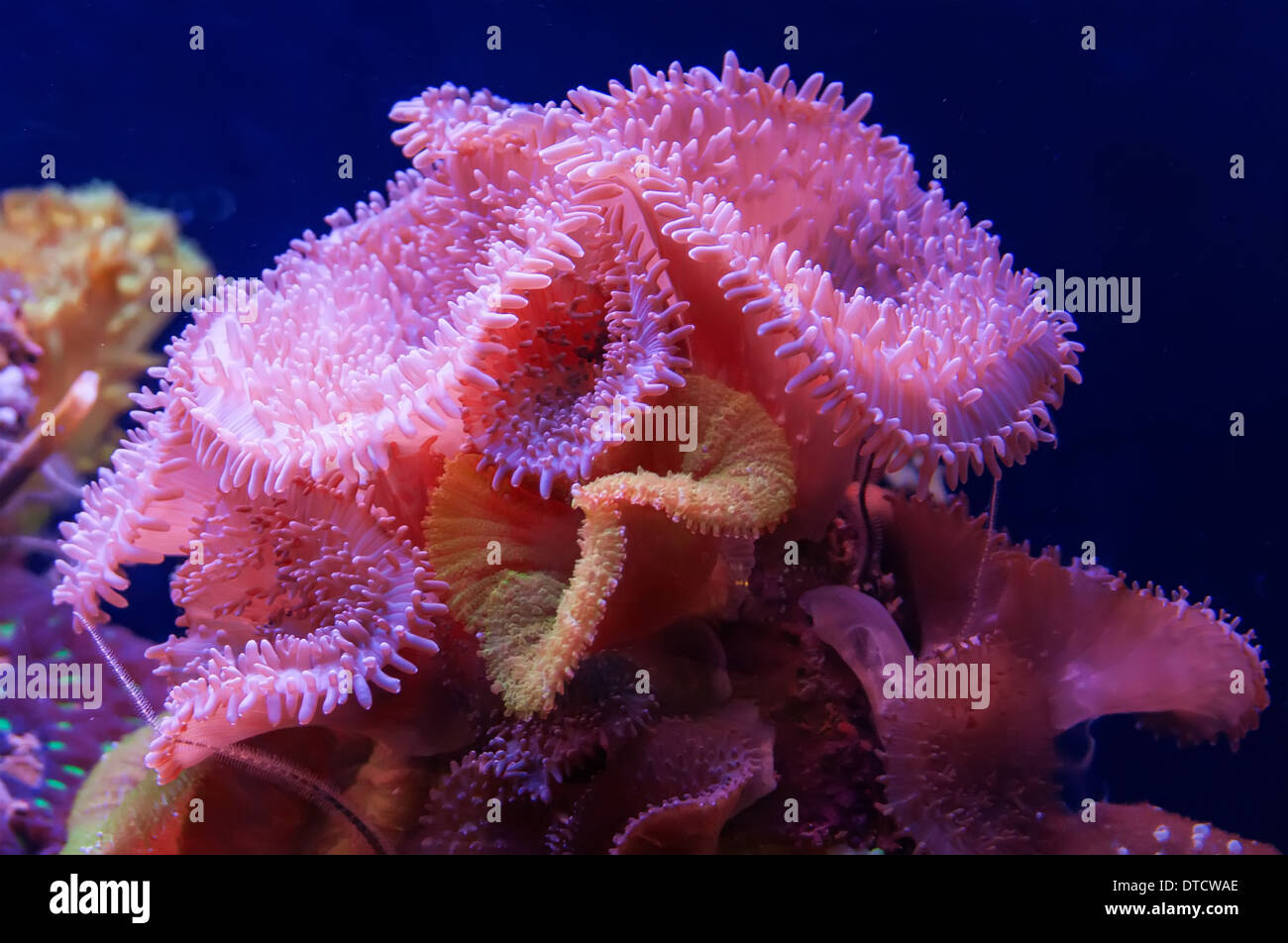 Aquarium coral reef - Stock Image