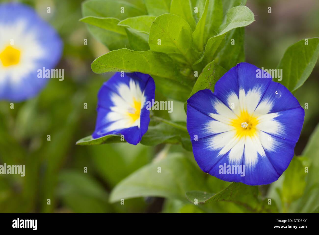 Dwarf Morning Glory, dwarf glory bind, Dreifarbige Winde, Zwerg-Trichterwinde, Convolvulus tricolor, Convolvulus minor - Stock Image