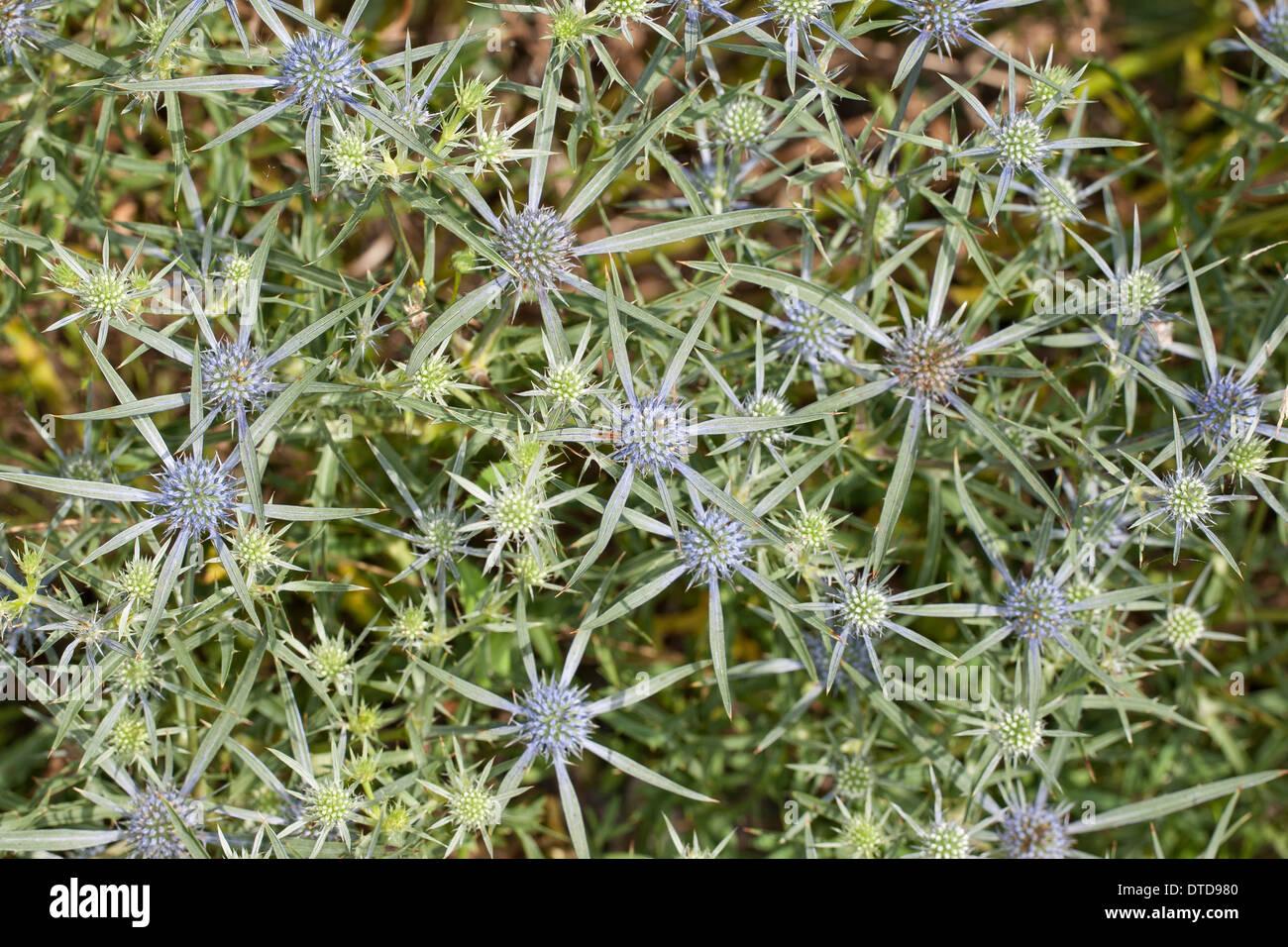 Amethyst sea holly, amethyst eryngium, amethyst eryngo, Amethyst-Mannstreu, Balkan-Edeldistel, Mannstreu, Eryngium amethystinum - Stock Image