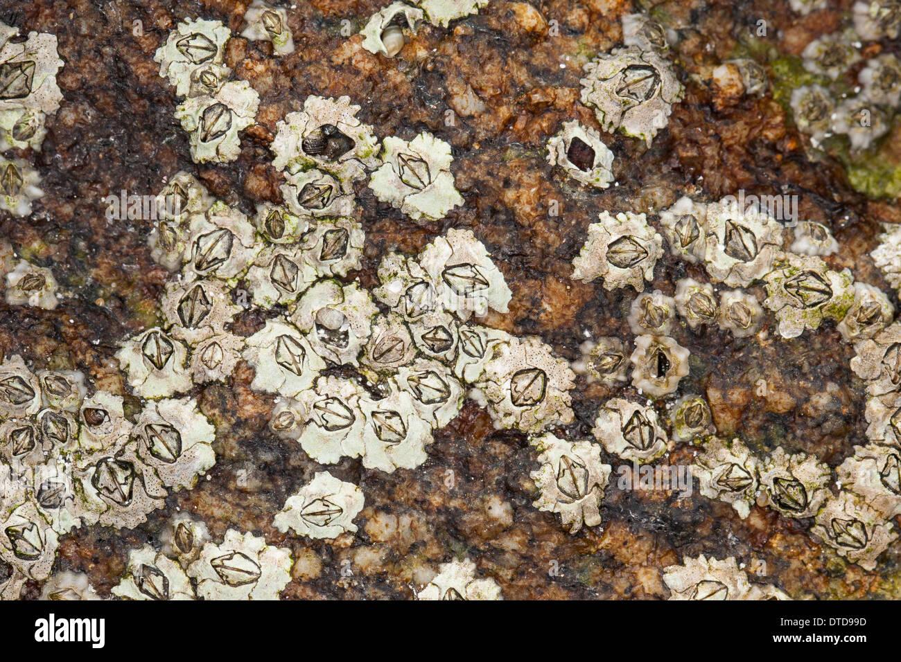 New Zealand barnacle, Australasian barnacle, Elminius modestus, Austrominius modestus, Australische Seepocke, Australseepocke Stock Photo