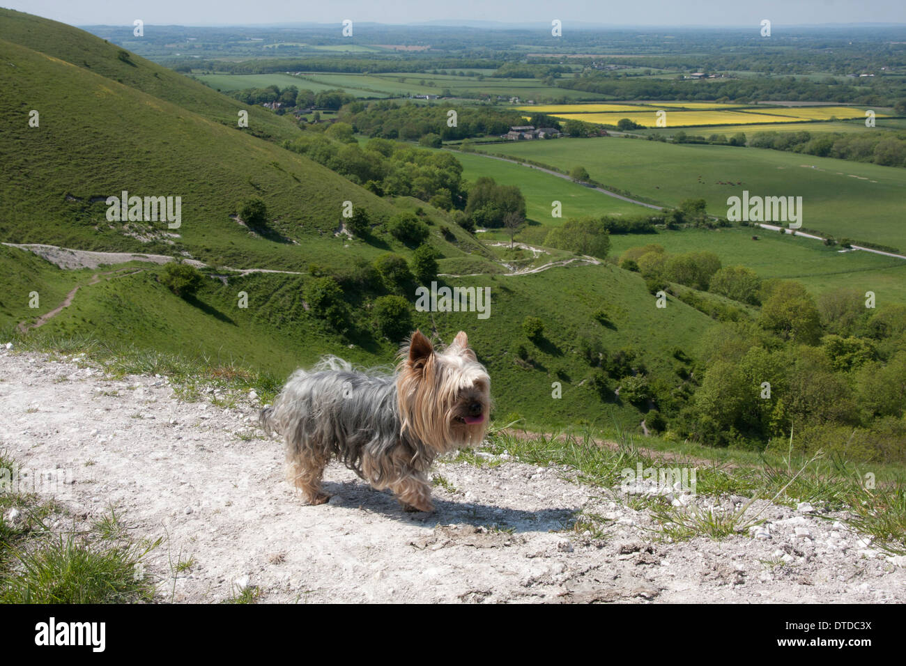 Yorkshire terrier on South Downs, East Sussex, England - Stock Image