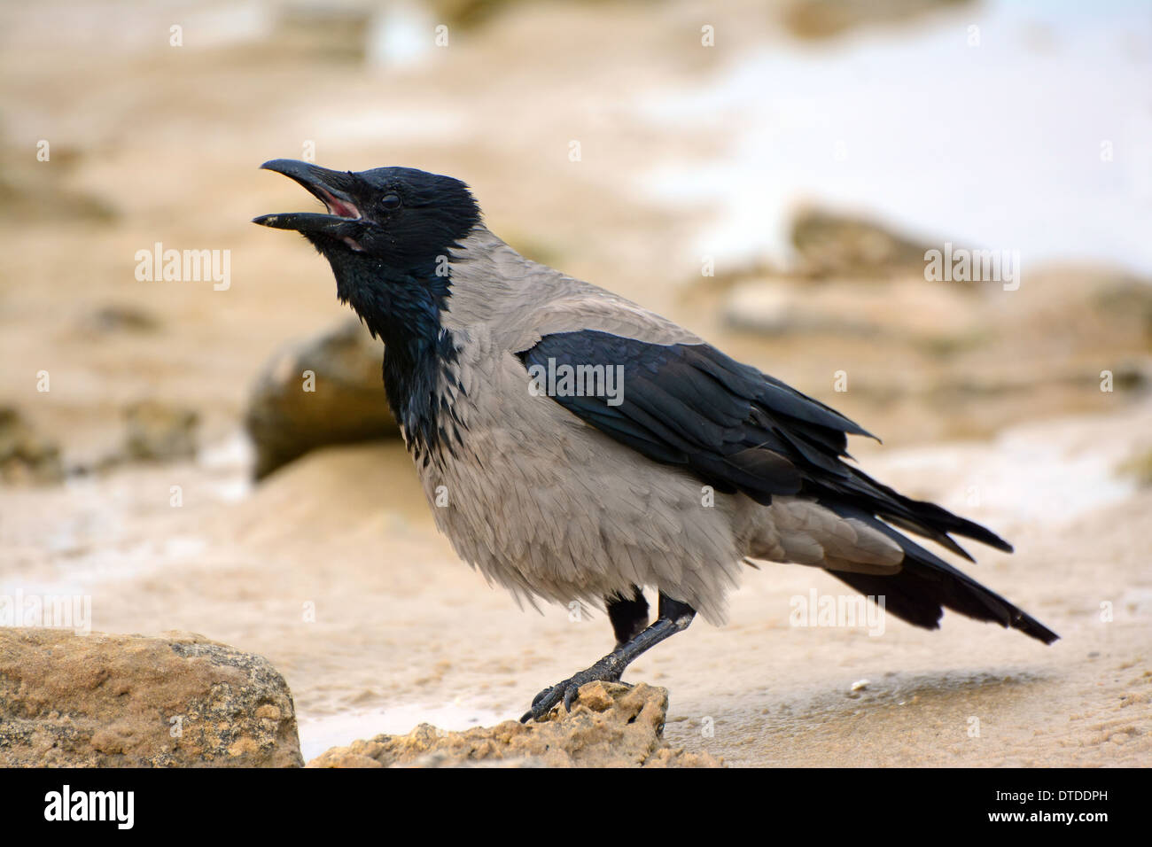 Hooded Crow, Corvus Cornix, calling Stock Photo: 66679049