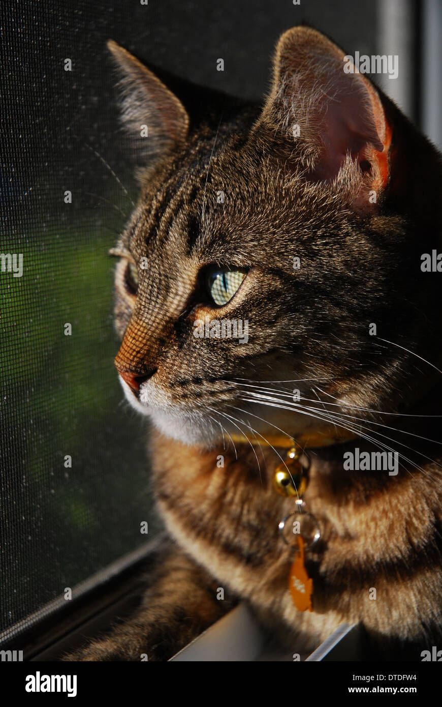 Tabby Bengal mix cat relaxing in window Stock Photo: 66680688 - Alamy