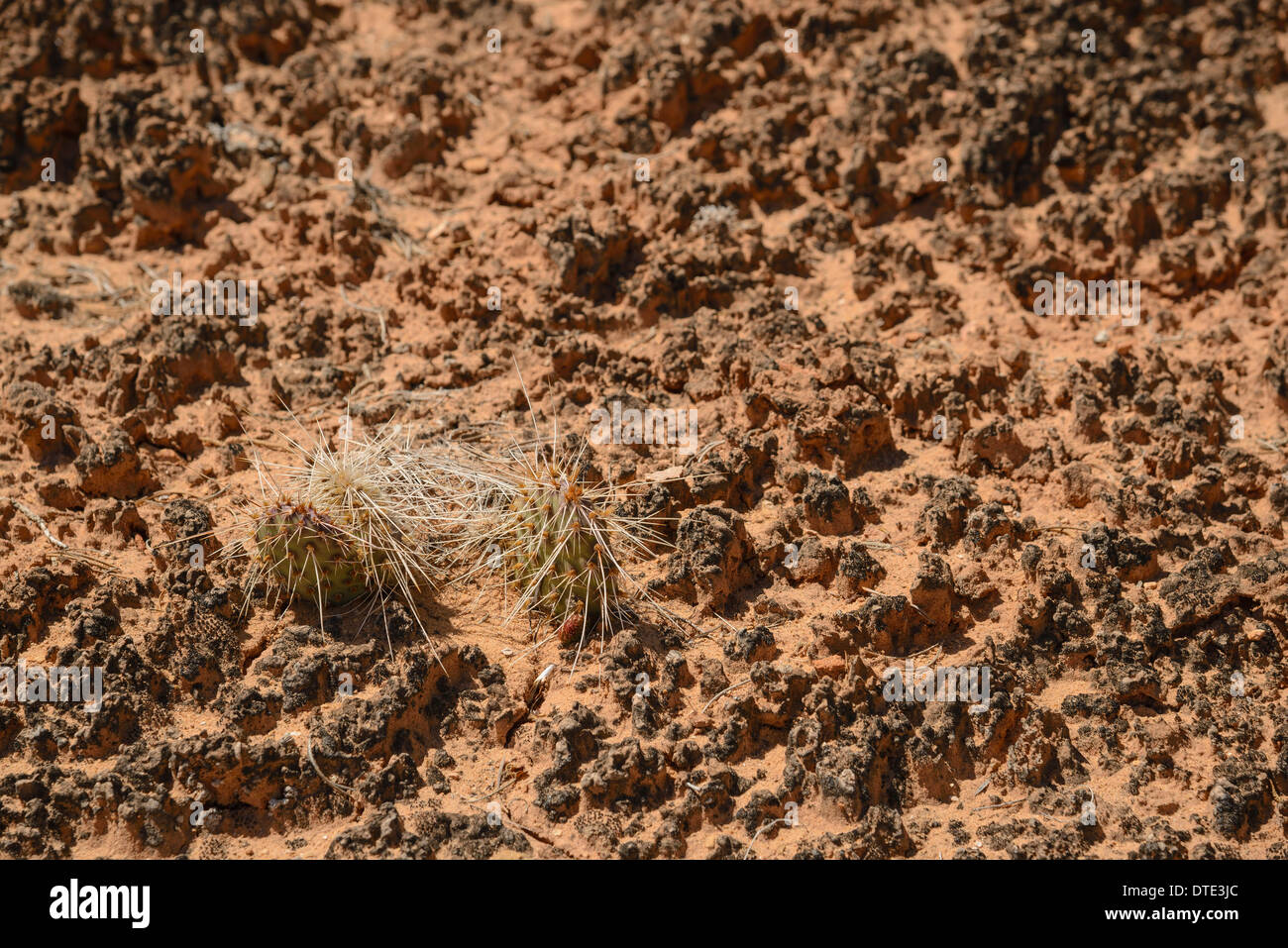 Biological soil crust, The Needles section of Canyonlands National Park, Utah, USA - Stock Image