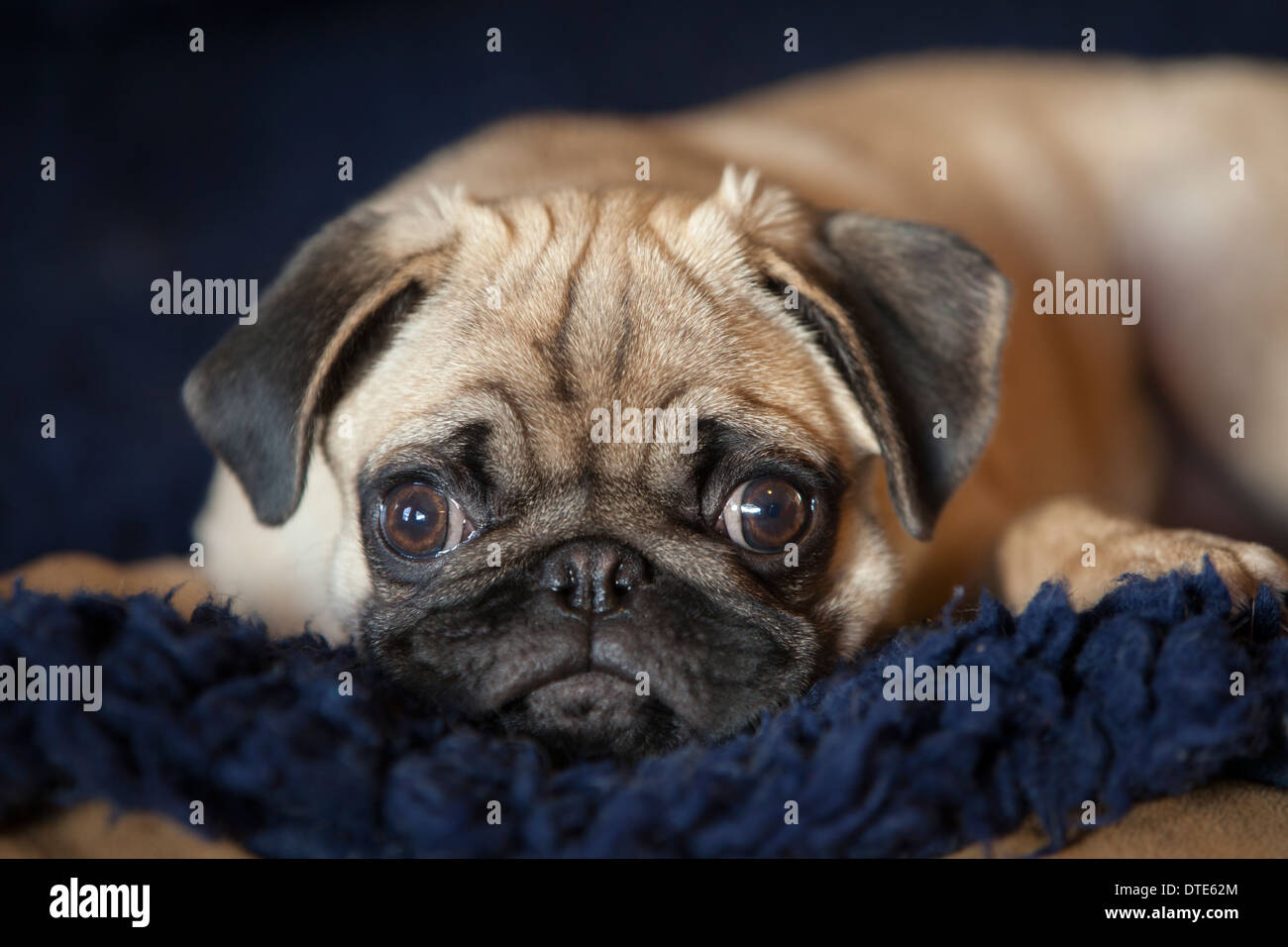 Pug puppy lying down - Stock Image