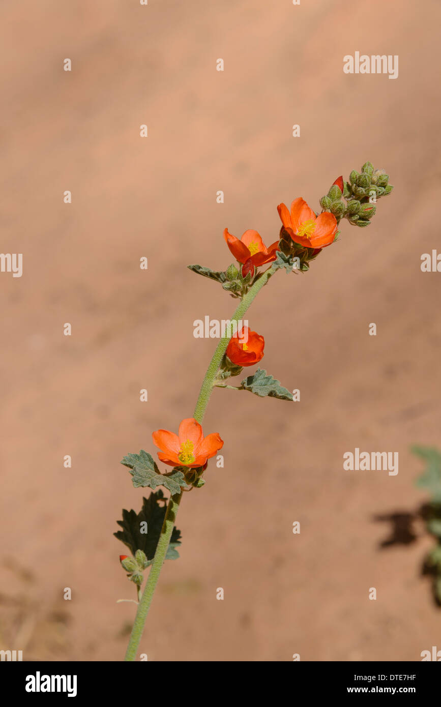 Small Leaved Globe Mallow, Sphaeralcea parvifolia, Wildflowers, Natural Bridges National Monument, Utah, USA - Stock Image