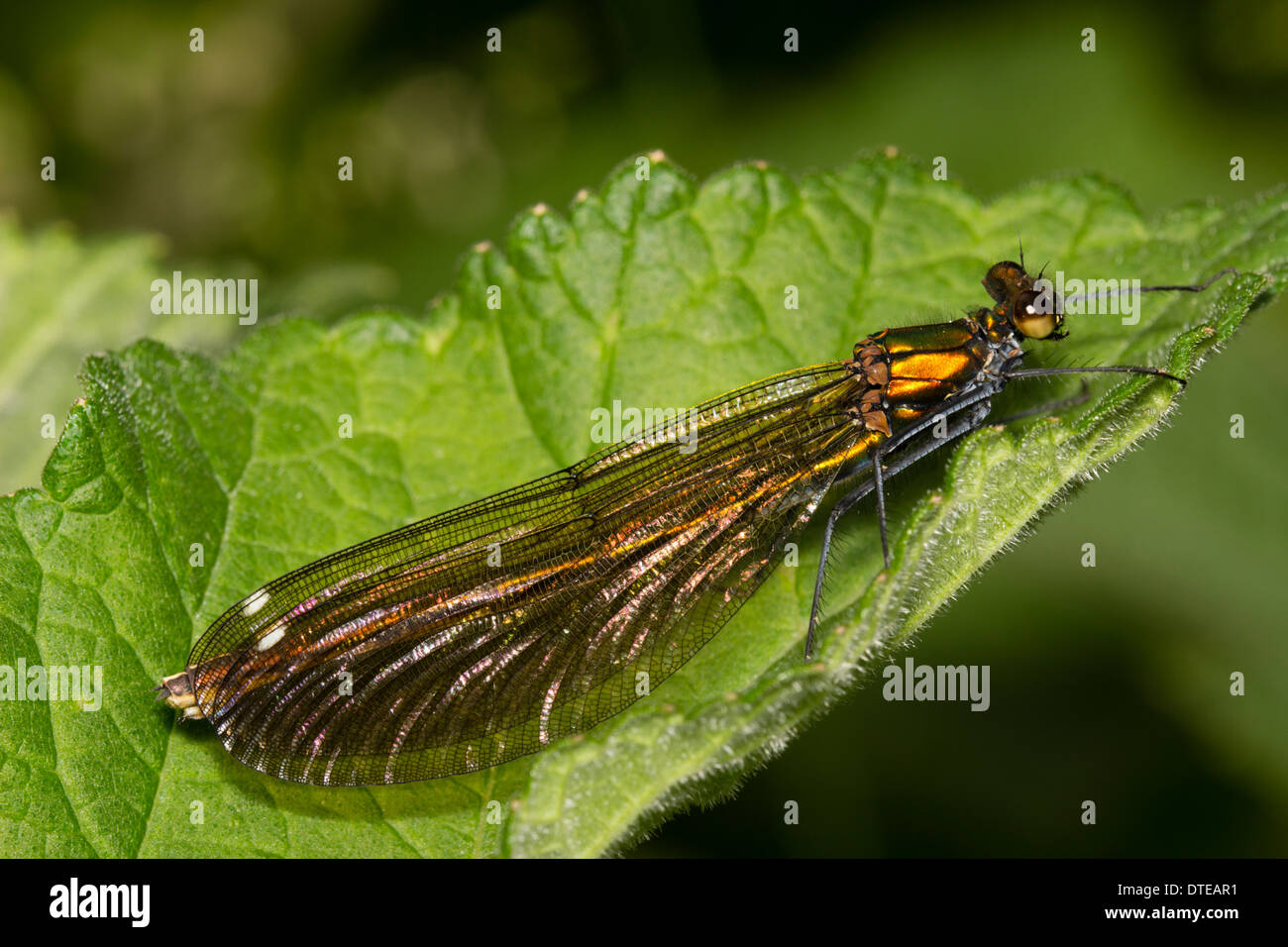 Female Beautiful demoiselle, Calopteryx virgo Stock Photo