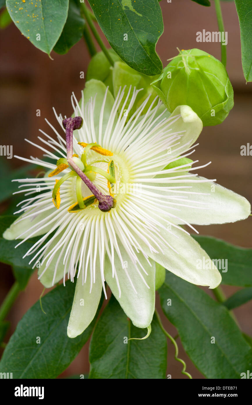 White Form Of The Hardy Passion Flower Passiflora Caerulea Stock