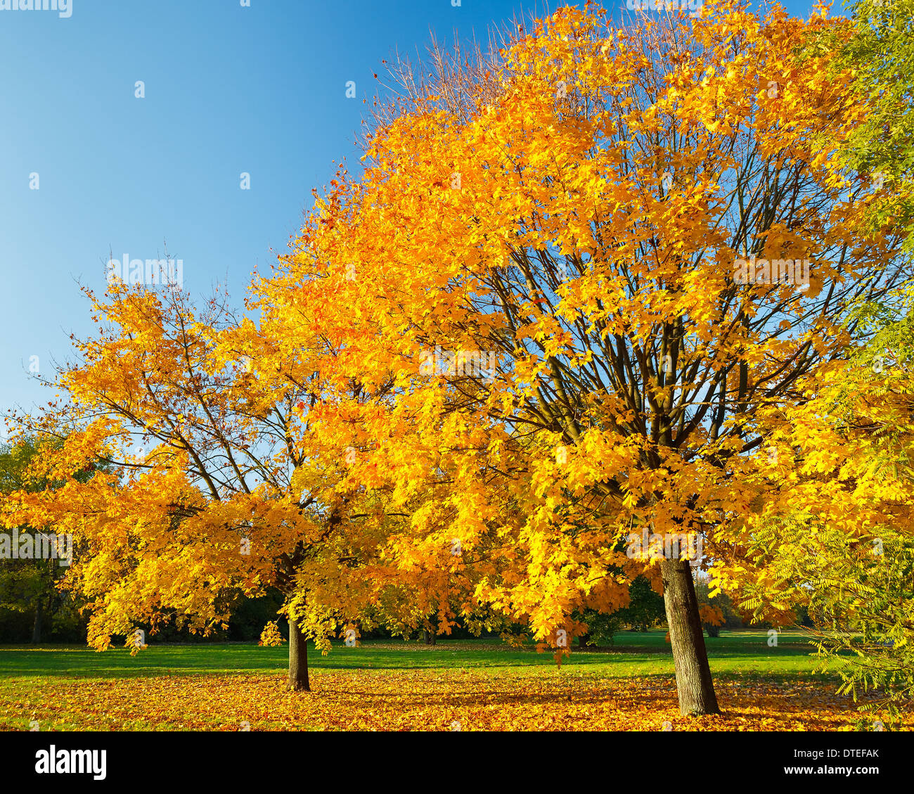 Colorful autumn maple tree - Stock Image