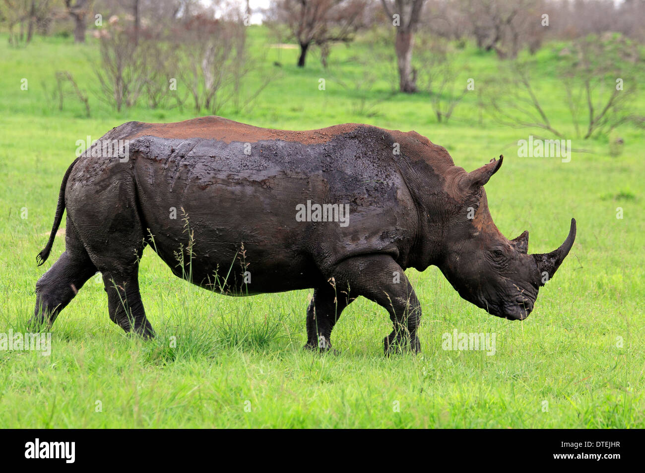 Wide-mouthed Rhinoceros, Sabi Sabi Game Reserve, Kruger national park, South Africa / (Ceratotherium simum) / side - Stock Image