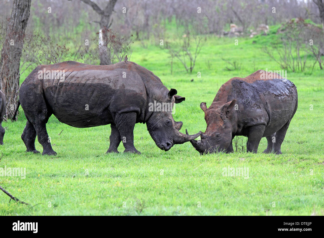 Wide-mouthed Rhinoceros, males, Sabi Sabi Game Reserve, Kruger national park, South Africa / (Ceratotherium simum) - Stock Image