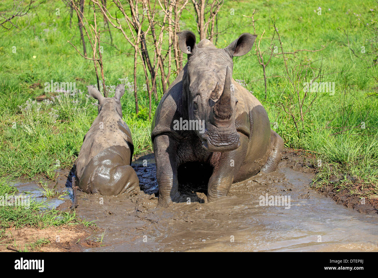 Wide-mouthed Rhinoceros, female with young, taking mudbath, Sabi Sabi Game Reserve, Kruger national park, South Africa / - Stock Image