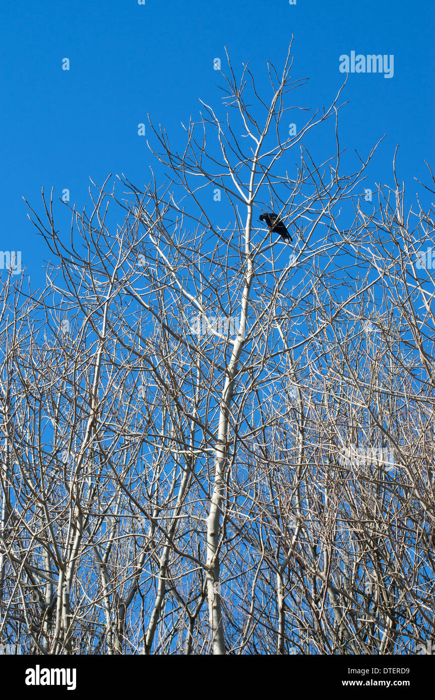 A crow sits within the bare branches of a tree against a blue winter sky, north east England UK - Stock Image