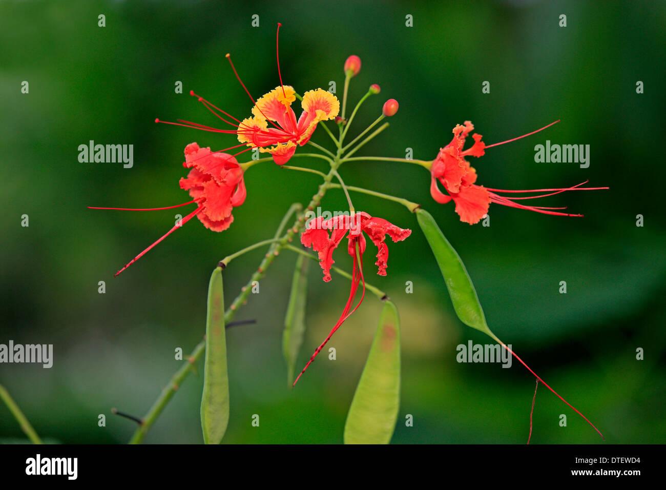 Tamarind, Kota Kinabalu, Sabah, Borneo, Malaysia / (Tamarindus indica) - Stock Image