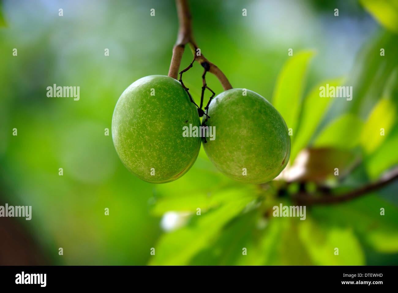 Pong Pong, Kota Kinabalu, Sabah, Borneo, Malaysia / (Cerbera odollam) - Stock Image