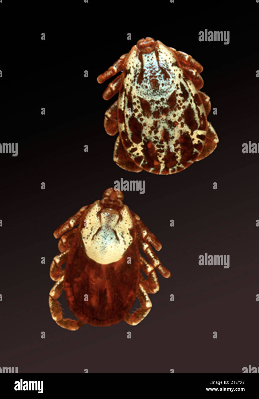Dermacentor andersoni, Rocky Mountain wood tick - Stock Image