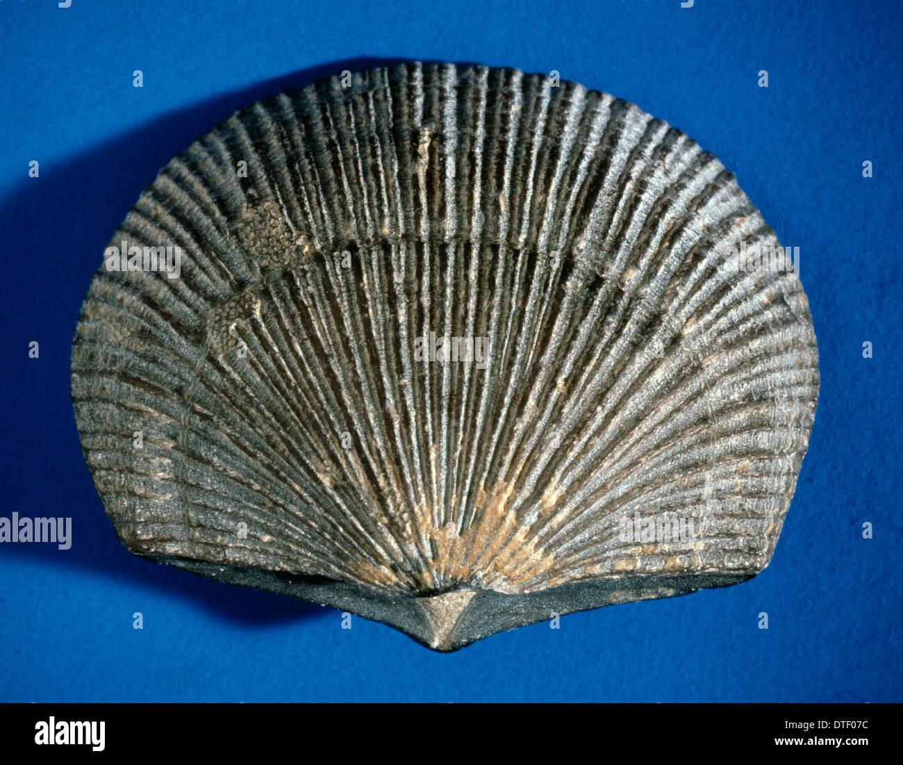brachiopod stock photos brachiopod stock images alamy