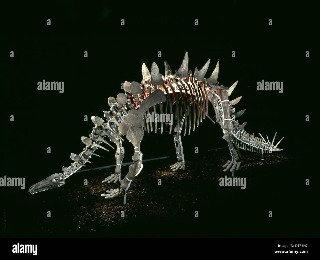 Tuojiangosaurus; Chinese dinosaur skeleton - Stock Image