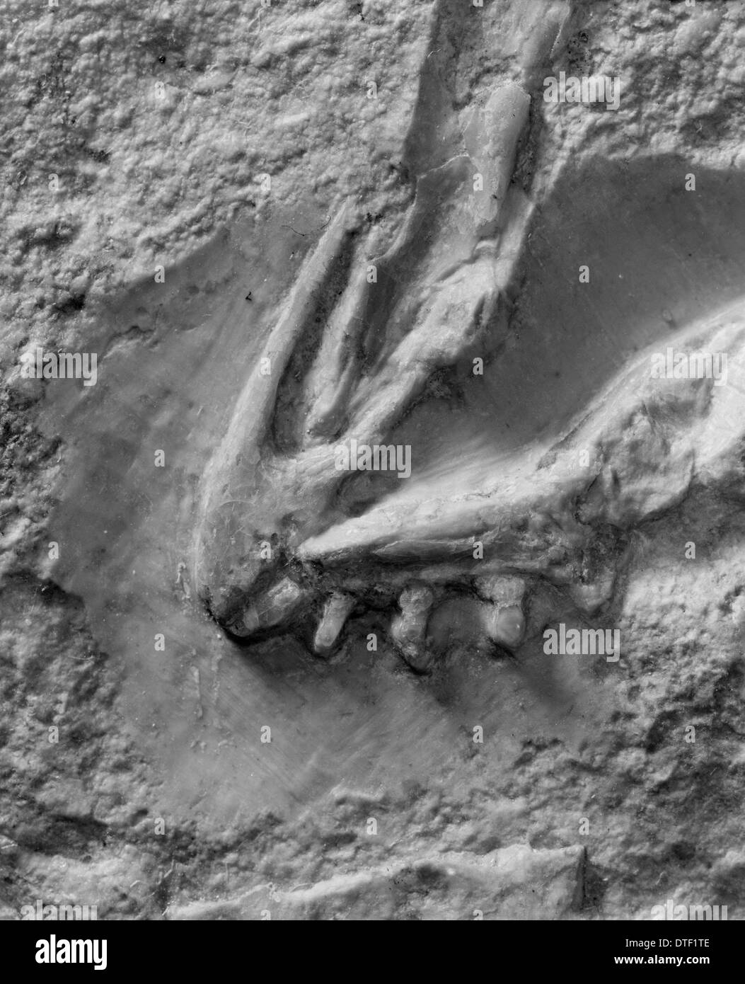 Archaeopteryx lithographica [London specimen] Stock Photo
