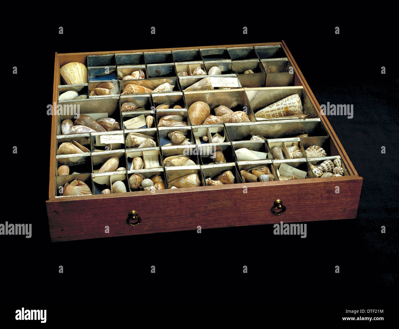 Shells from Sir Joseph Banks' collection - Stock Image