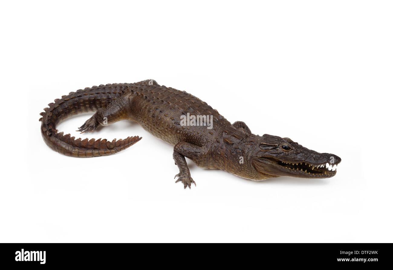 Mounted specimen of Crocodylus sp., crocodile - Stock Image