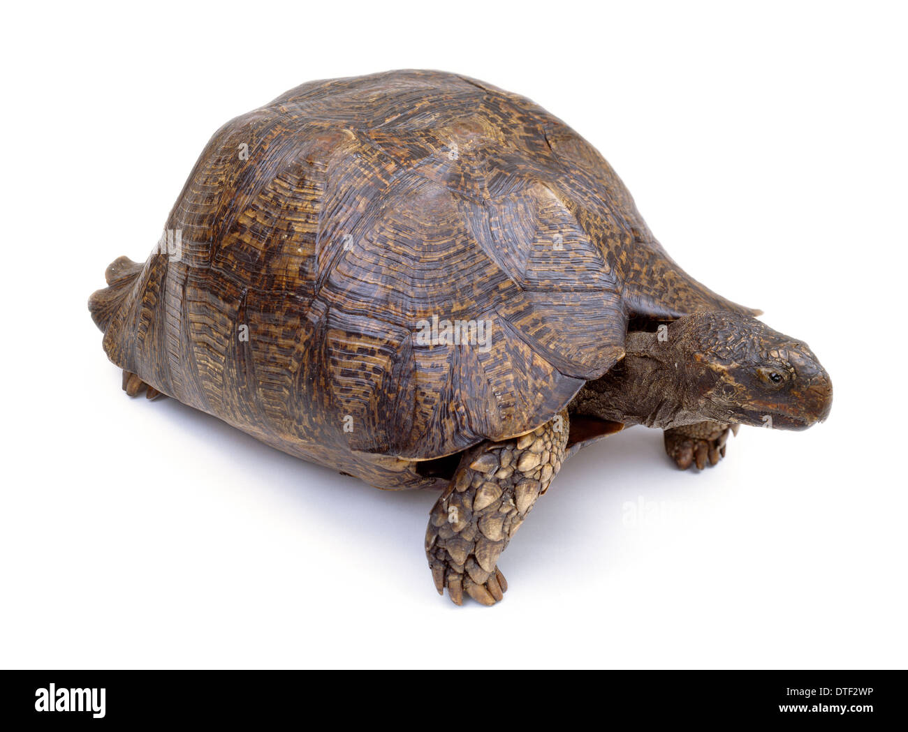 Mounted tortoise specimen - Stock Image