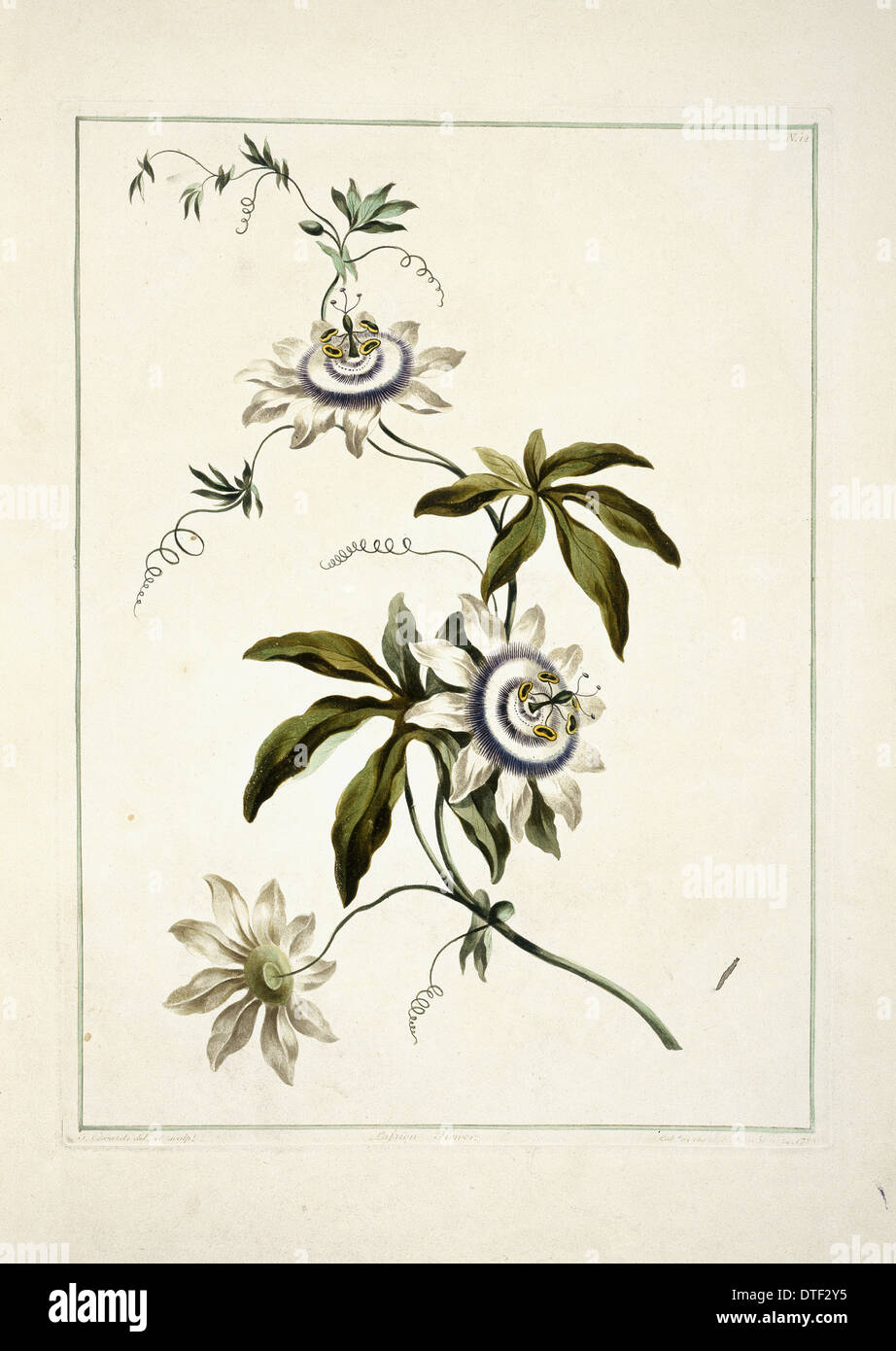 Folio 11 from A Collection of Flowers by John Edwards - Stock Image