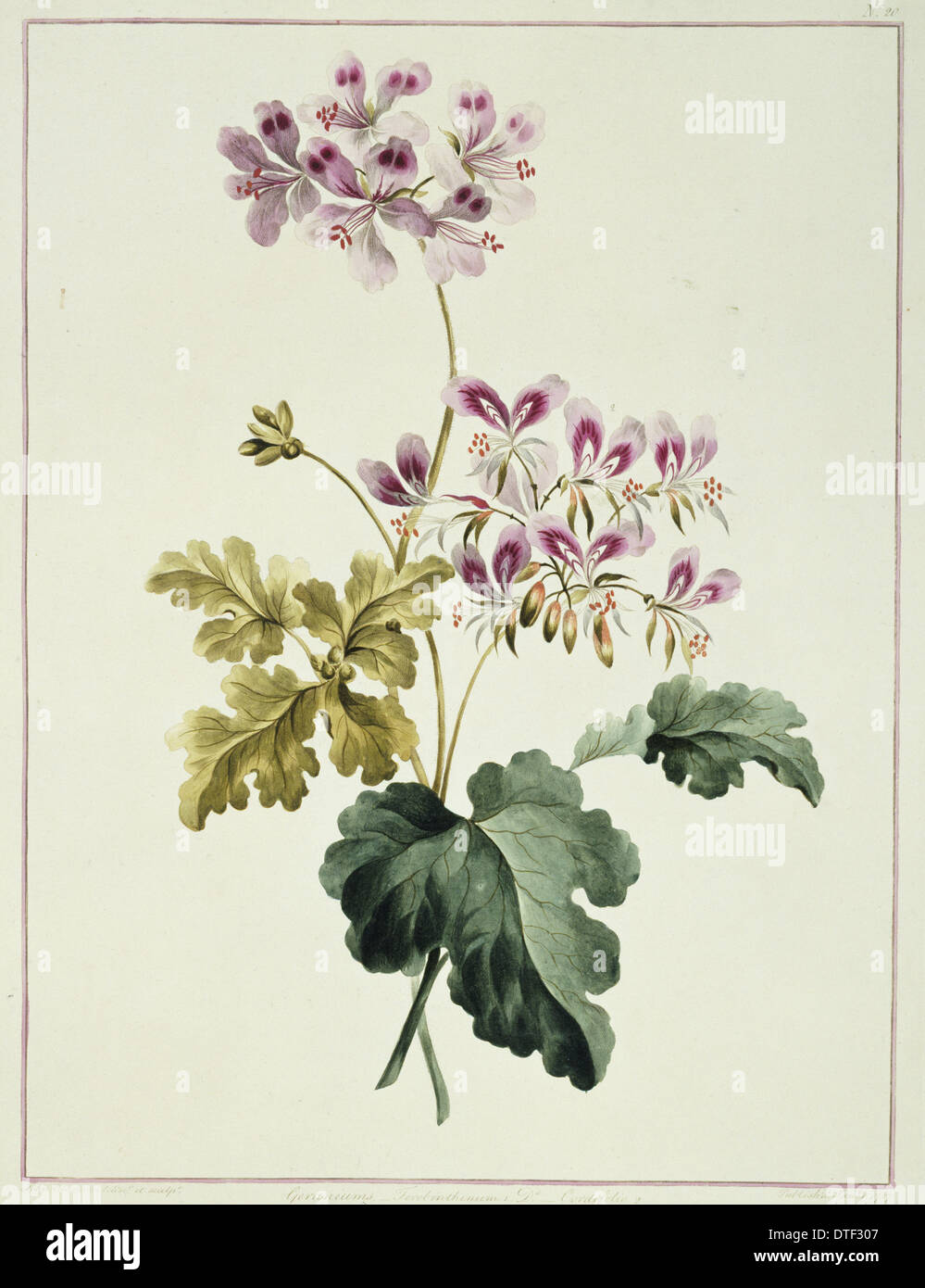 Folio 19 from A Collection of Flowers by John Edwards - Stock Image
