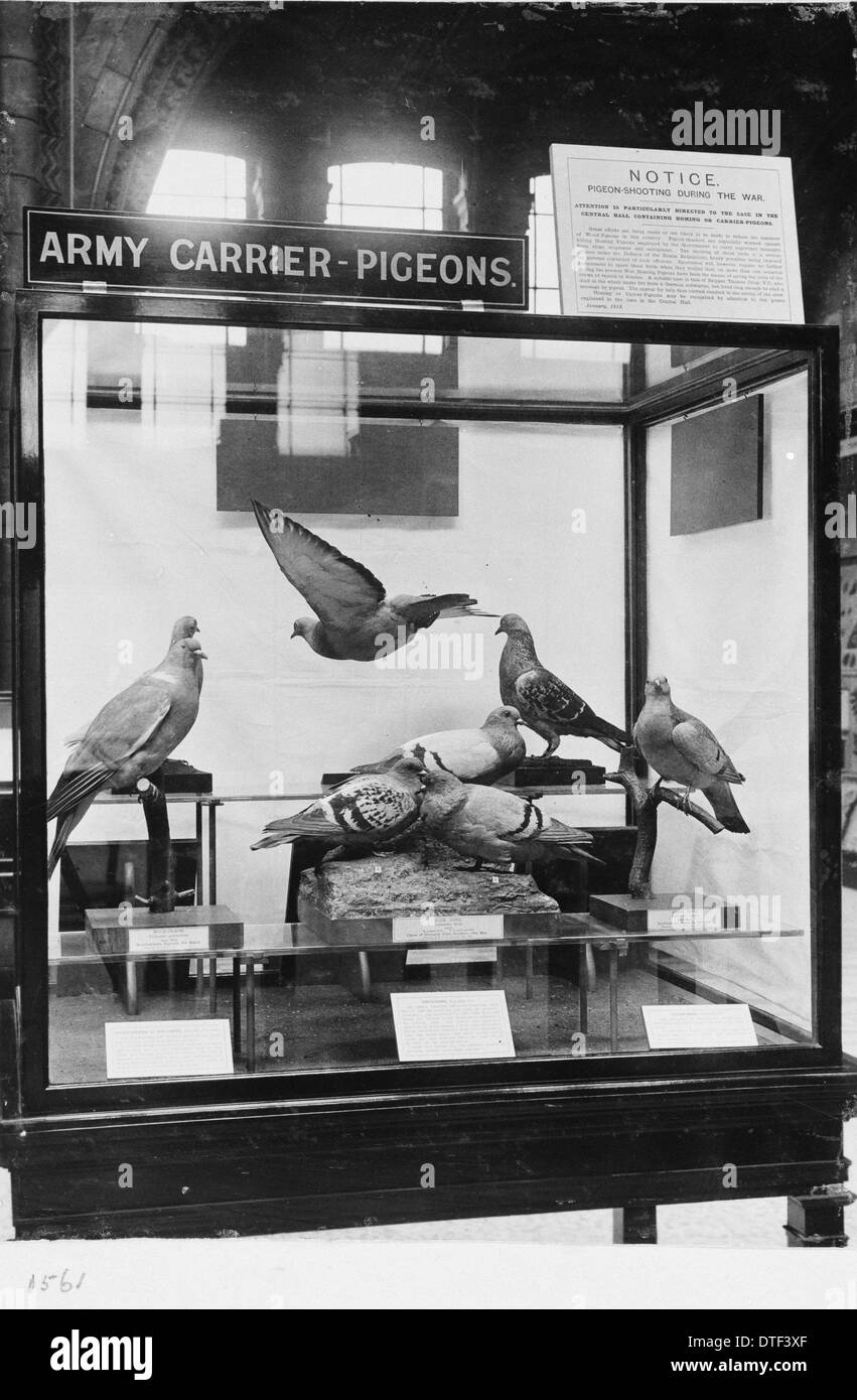 Pigeon types, c.1918, the Natural History Museum, London - Stock Image