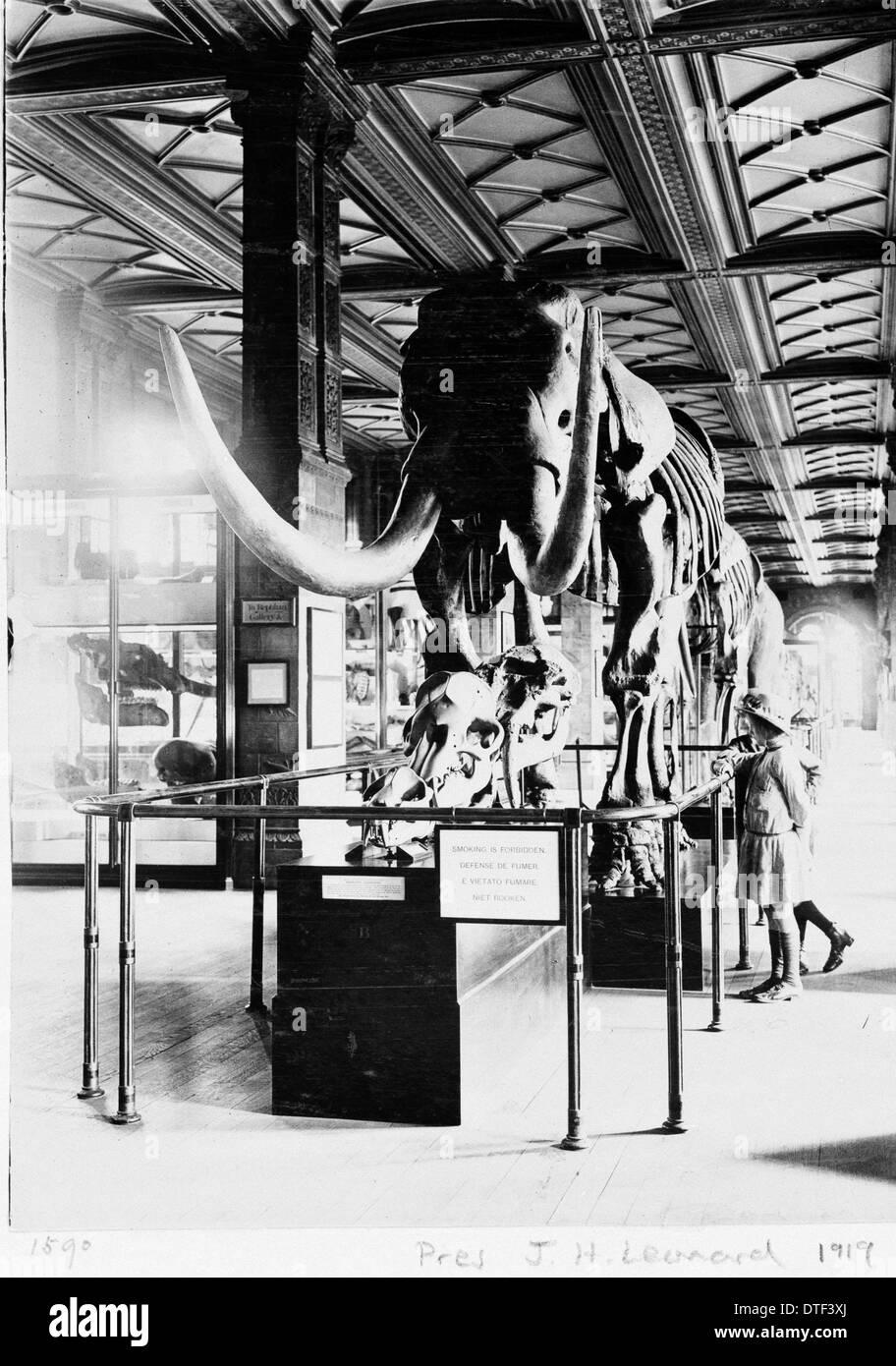 Mastodon in Geological Gallery, December 1919 - Stock Image