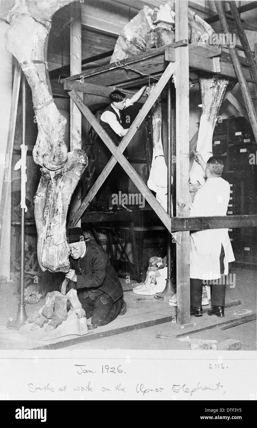 Upnor elephant, 1926, the Natural History Museum, London - Stock Image