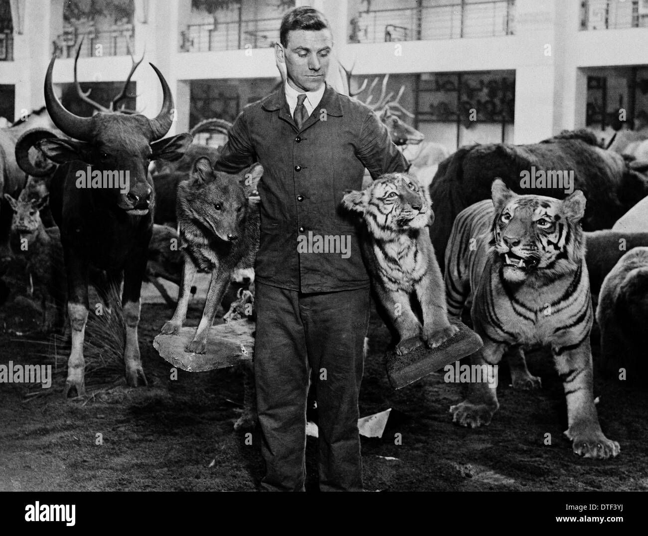 Man carrying stuffed mammals for the Game Animals of the Empire exhibition, 1932 - Stock Image